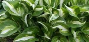 Plante Ombre Exterieur : plante verte vivace exterieur pivoine etc ~ Carolinahurricanesstore.com Idées de Décoration