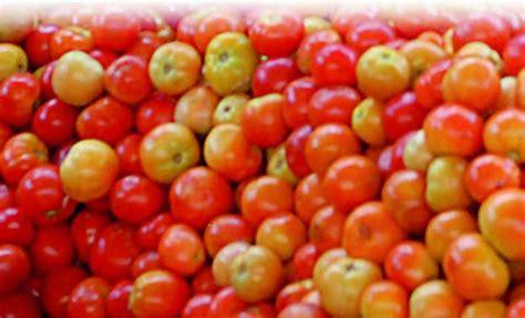 tomato raised   acre  madanapalle