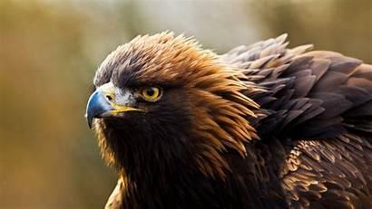 Eagle Golden Desktop Birds Animal Autumn Wallpapersafari