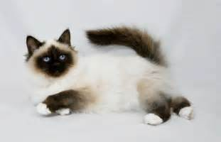 birman cat kittens for felonie birmans birman cats