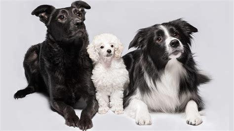 bordoodle   border collie poodle mix   puppy