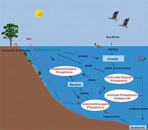 simple phosphorus cycle diagram Quotes