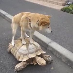 dog ride gif find share  giphy