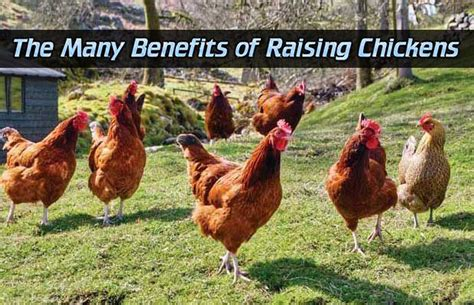 The Many Benefits Of Raising Chickens Read Here-> Http