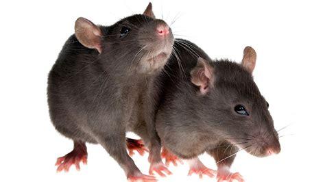 socialize  rat pet rats youtube