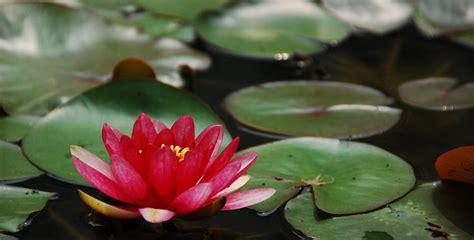 Floare de Lotus, un concurs pro mediu