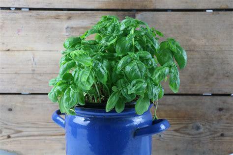 basilikum pflanze pflege basilikum anpflanzen aussaat standort und pflege hausgarten net