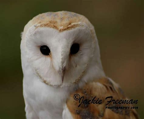 Barn Owl & Screech Owl Photographs Devon & Cornwall