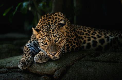Jaguar Backgrounds by Leopard Predator Wallpapers Hd Desktop And Mobile