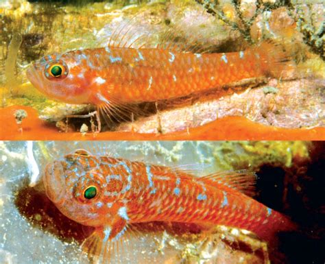 Trimma Christianeae A New Species Of Pygmy Goby From