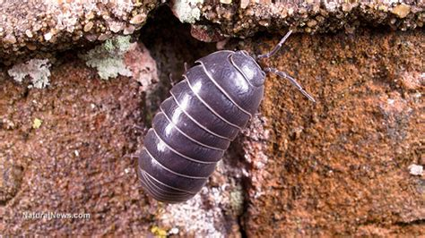 'rollie Pollies' Remove Heavy Metals From Soil