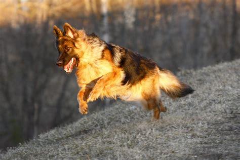 Vācu aitu suns - Suns - redzet.eu