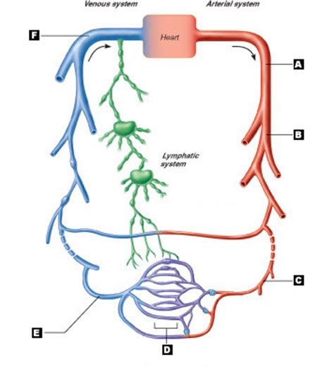 This page provides histology support information for blood vessel structure. 34 Label Blood Vessels Diagram - Labels Database 2020