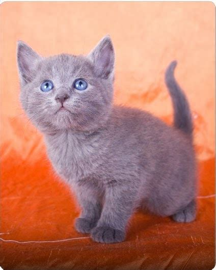How Much Does A Russian Blue Kitten Cost?  Annie Many