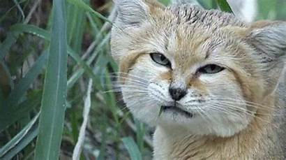 Wild Cat Gifs Giphy