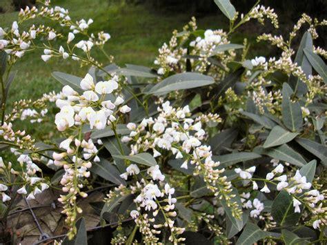 Hardenbergia Violaceae 'snow White'  Gardening With Angus
