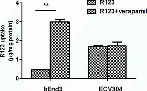 R123 Uptake In Ecv304 And Bend3 Cells In The Absence Or