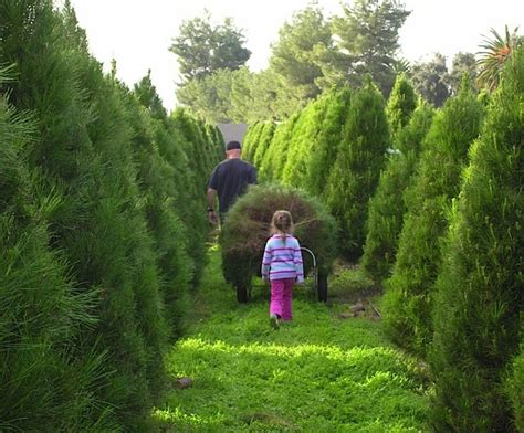 christmas tree lot near me 10 enchanting activities to experience in southern california