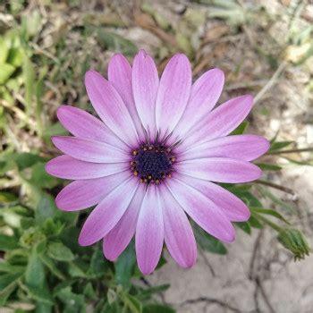 Ciorchine Floare De Colt Desen