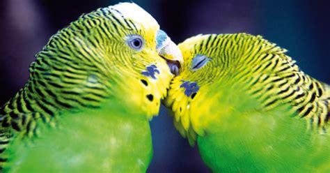 Riproduzione Cocorite In Gabbia Cocorita Uccelli