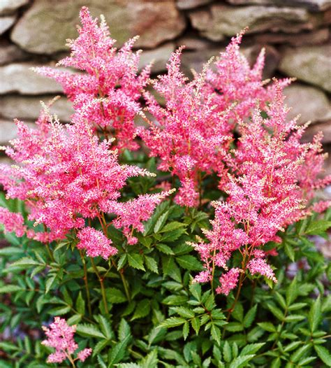 perennial for areas the 10 best perennials for shade