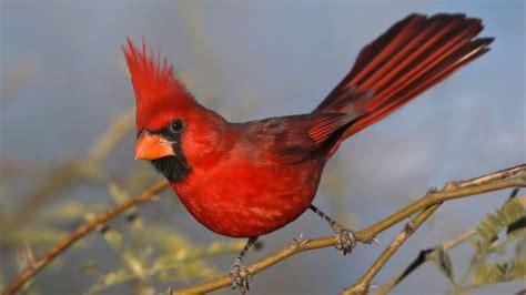 northern cardinal   multiple species