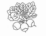 Coloring Beets Three Pages sketch template