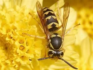 Stehen Wespen Unter Naturschutz : der richtige umgang mit wespen livona der bio blog ~ Whattoseeinmadrid.com Haus und Dekorationen