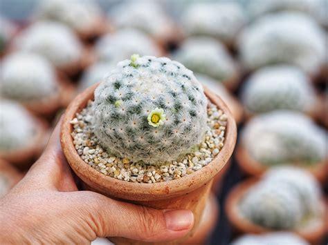 แคคตัสพันธุ์แมม 10 ต้นแคคตัสสวยๆ มีดอก และวิธีปลูกกระบองเพชร