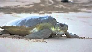 The Kimberley's Flatback Sea Turtles - YouTube
