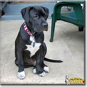 black lab / american pit bull mix----- Best two breeds to ...