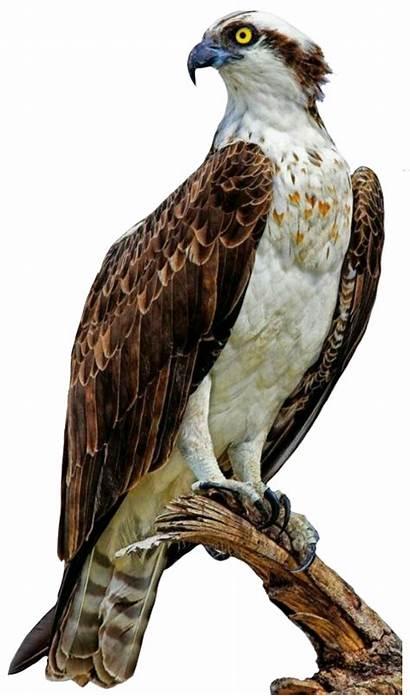 Hawk Osprey Clipart Transparent Webstockreview Stickers Trending