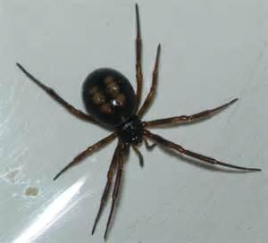 Poisonous Florida Spiders Identification