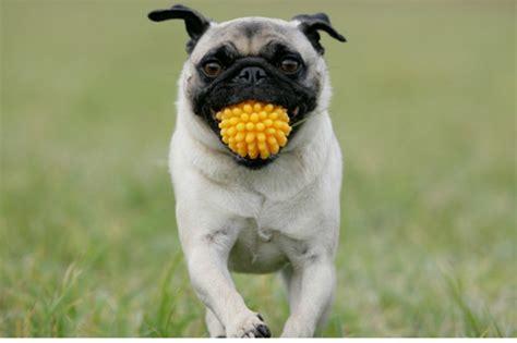 How To Teach A Dog to Fetch - American Kennel Club