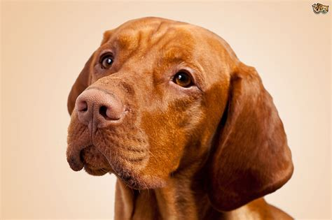 when do vizslas shed their puppy coat is the hungarian vizsla a choice of pet pets4homes