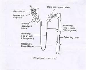 Biology Nephron Diagram