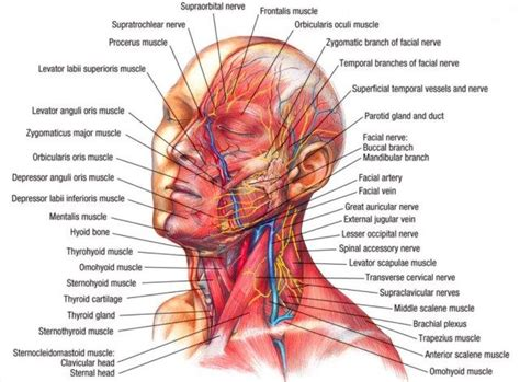 and neck muscles diagram and neck muscles