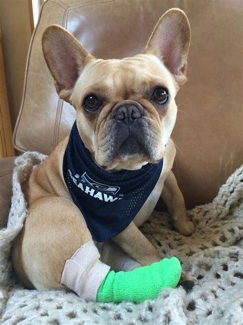 french bulldog wearing seahawks gear  dog