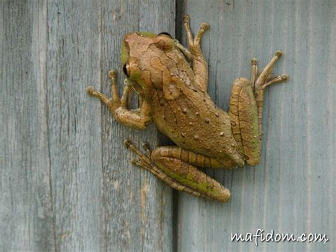Frong on display | Around my yard I found this fellow just ...