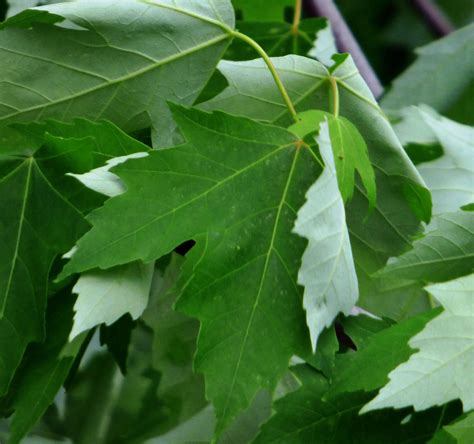 maple tree leaf maple tree varieties information about maple tree identification