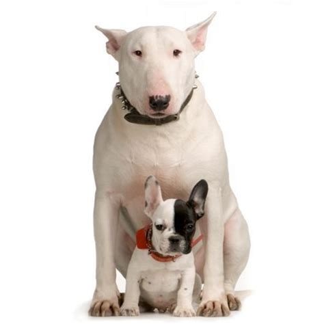Bull Terrier Images Bull Terriers Images Bull Terrier Wallpaper And