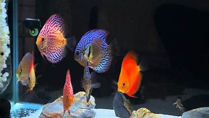 Discus Fish Tank Wallpapers Tropical Wallpaperup Sign