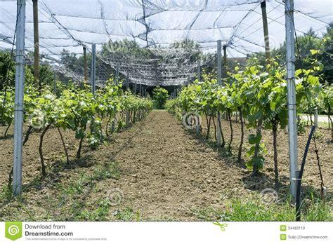 bird netting for vineyard stock photo image of viticulture wine