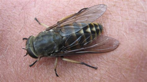 fliege bestimmen identification  butterflies actias