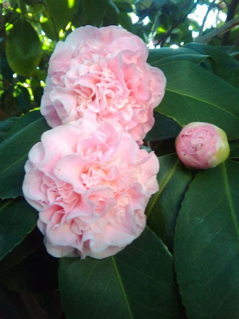 light pink camellia camellia japonica vasily light pink camellias pinterest pink and lights