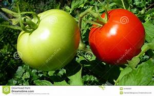 Red And Green Tomatoes Stock Photos - Image: 34458363