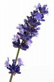 Image result for lavender flowers