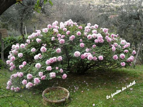 planter pivoine en pot quelques liens utiles