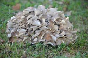 Maitake Mushrooms 101  A Valuable Mushroom