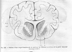 Du Coup Synonyme : striatum wiktionnaire ~ Medecine-chirurgie-esthetiques.com Avis de Voitures